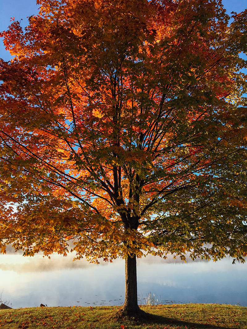 Beautiful fall tree with orange and gold colors.